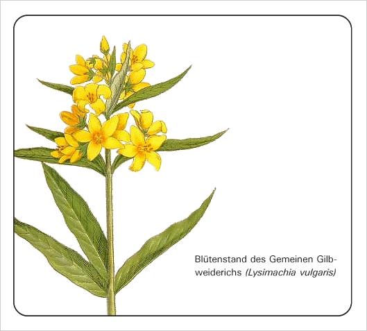 lysimachia-vulgaris_bdm_9