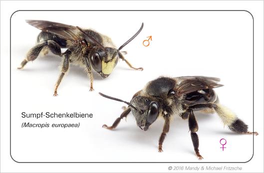 macropis-europaea_bdm_09