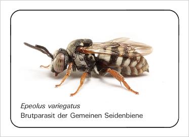 epeolus-variegatus_bdm_10