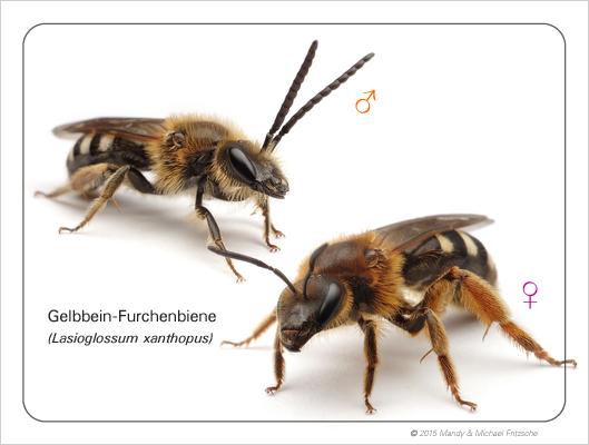 lasioglossum-xanthopus_bdm_11