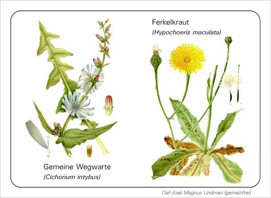 cichorium_und_hypochoeris_bdm_3