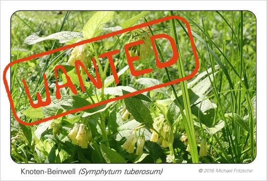 symphytum-tuberosum_bdm_8