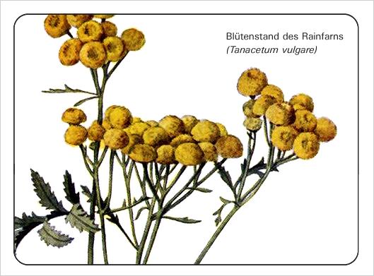 tanacetum-vulgare_bdm_10