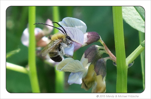 eucera-nigrescens_wicke_bdm_14